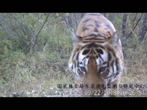 First Monitoring System Used in Amur Tiger and Leopard Conservation