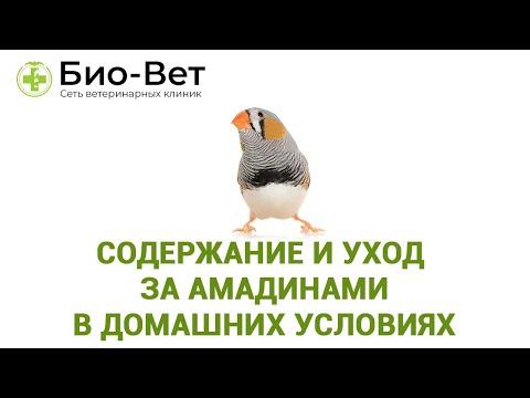 Амадины - Содержание и Уход в Домашних Условиях // Сеть Ветклиник БИО-ВЕТ