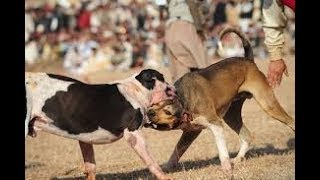 New Bull dog  Pakistan ky Dengerous tareen bull Dogs 2018 hd