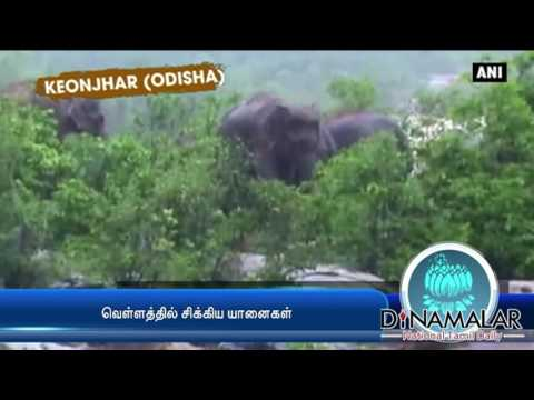 Elephants gets stuck in flood at Odisha - Dinamalar Sep 6th 2016