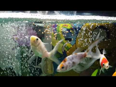Proper Way to Feed Goldfish