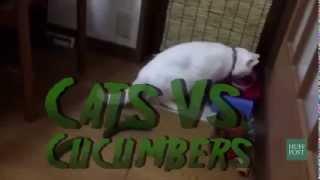 Cats Vs Cucumbers!