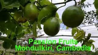 Asian Travel | Cambodian Passion Fruit In  Mondulkiri | Healthy Food Forever