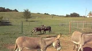 "Female miniature donkey in heat ""chewing"""