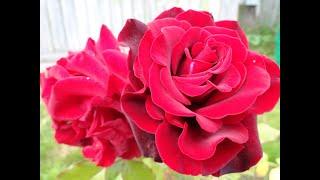 """РОЗЫ.Фото обзор """" Розы в моем саду"""""""