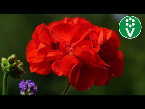 ПОРА СЕЯТЬ! Тонкости выращивания пеларгонии из семян