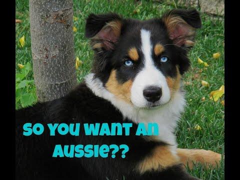 Things you should know before getting an Australian Shepherd!!