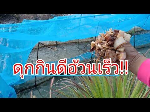 เลี้ยงปลาดุกยักษ์ด้วยต้นกล้วยสับหมัก??