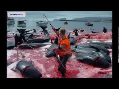 Почему в Дании убивают дельфинов?