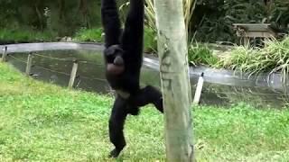 Siamango no Zoo de Lisboa