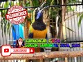 Masteran Syahdu Sang Burung Cungkok Asal Negeri Cina Yahuddd  Mp3 - Mp4 Download