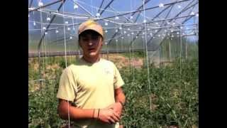 FST - Tomato Pruning and Trellising