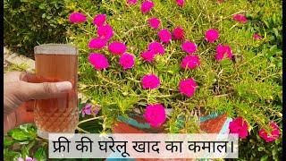 पोर्टुलाका पर ज्यादा फूल पाने के लिये यह फ्री की खाद जरूर डाले। Moss Rose Best Homemade Fertilizer.