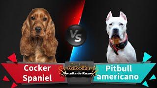 Batalla de Razas: Cocker Spaniel Inglés vs Pitbull Americano
