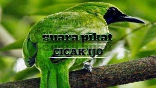Gambar cover suara pikat burung cicak ijo paling ampuh