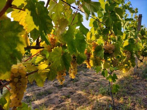 Обзор технического виноградника