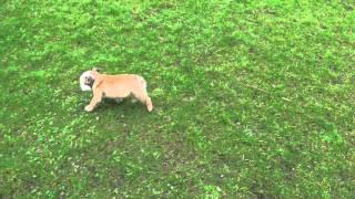 Engelse Bulldog Lekker Aan Het Spelen (zelda)