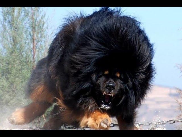 I 10 cani da guardia più pericolosi del mondo