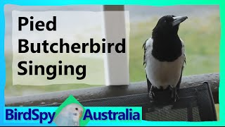 Pied Butcherbird Singing | BirdSpyAus