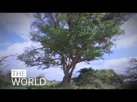 Africa's ancient Baobab trees are mysteriously dying