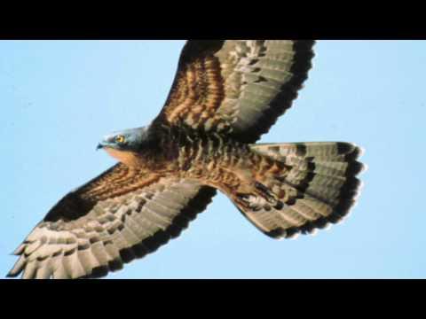 BTO Bird ID - Summer Buzzards: Common Buzzard and Honey-buzzard