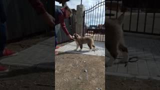 Продажа щенок САО Дар Медичи Элегия.