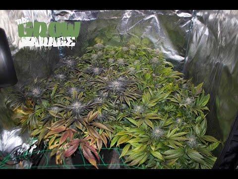 True Believer Day 62 HARVEST 600w Gavita Living Organic Soil Cannabis Grow