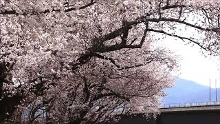 長野電鉄村山付近の桜 (2019年4月17日)