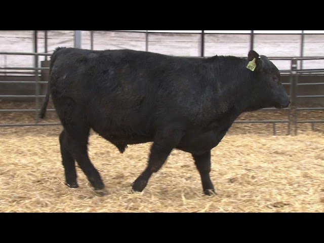 Schiefelbein Angus Farms Lot 179