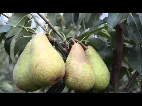 Айва — символ плодородия. Выращивание, посадка и уход