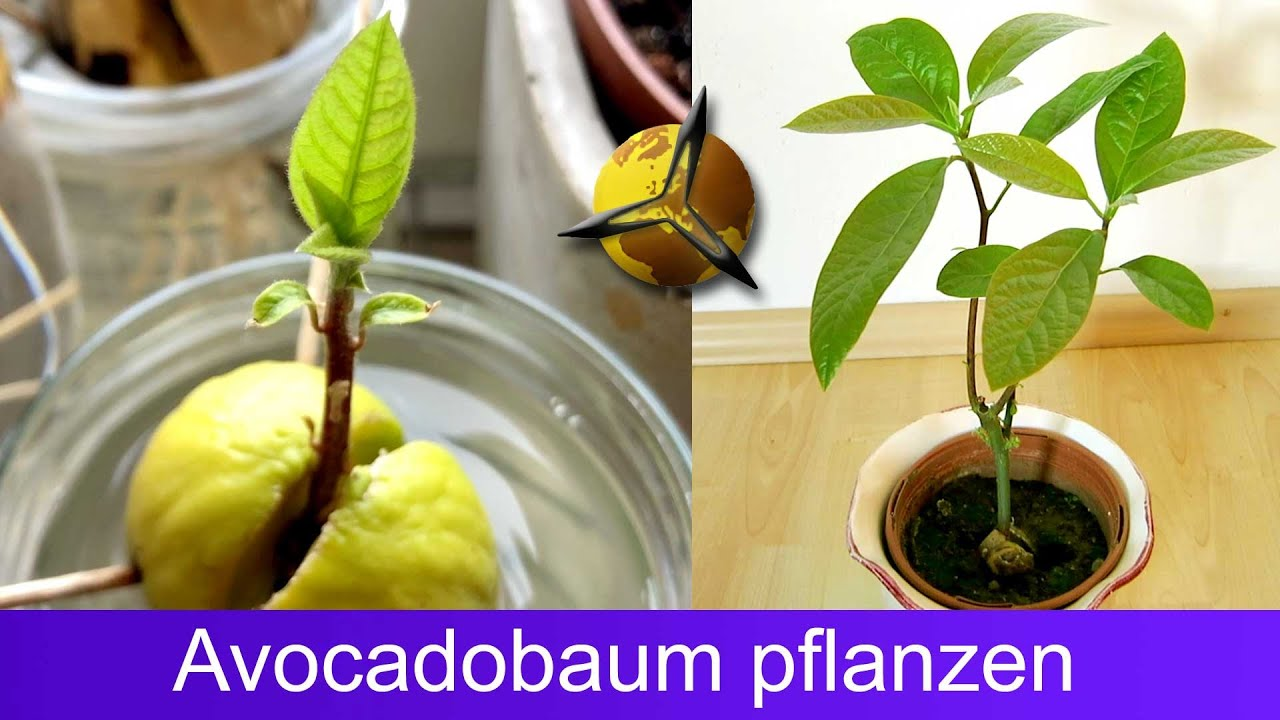 Avocado Pflanzen Tipps Planting Avocado Grow Your Own Avocado Tree