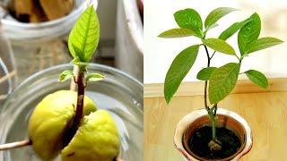 Avocado pflanzen: Avocadobaum selber ziehen