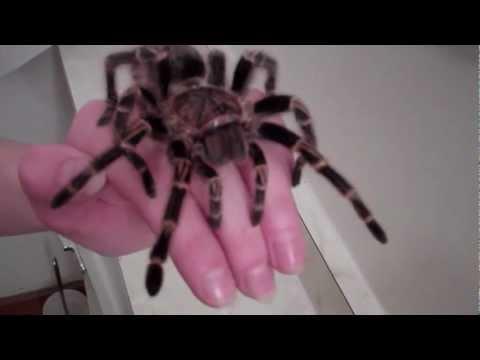 Chaco Golden Knee Tarantula Handling