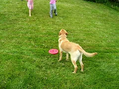 Golden Retriever Labrador Mix Riley Plays With Girls 9 Months Old