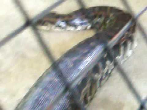 Samantha - Big Snake in Maribojoc, Bohol