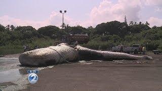Dead sperm whale brought ashore