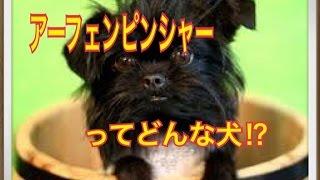 ペットで犬を飼おうと迷っている方へ〜アーフェンピンシャー〜 世の中に...