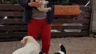 Щенок Алабая девочка Бирма возраст 2.5 месяца, ( нужно купить щенка Алабая)