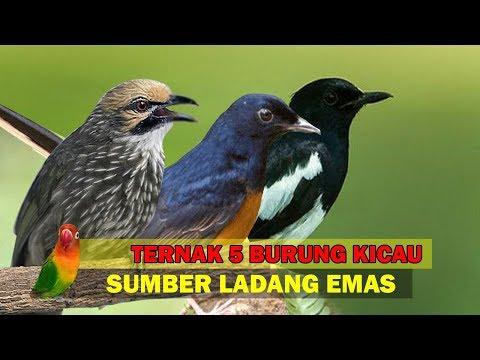 5 Burung Kicau Ternak TERMAHAL Di Indonesia, Sumber LADANG EMAS
