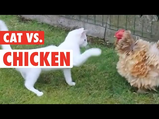 Unlikely Friends: Cat & Chicken Edition