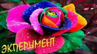 ❤ Радужная роза. Красим розы красками. Как покрасить розу в разные цвета! Видео для детей.. Опыты.