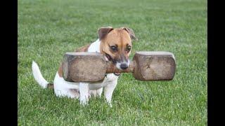 """Fiete (jack Russell Terrier) Obedience Klasse 3 291, 5 """"v"""" 06. Juni 2015"""