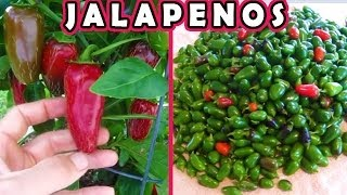 Jalapeno Harvest Dehydrating and Freezing, plus the final garden harvest of the year 2013
