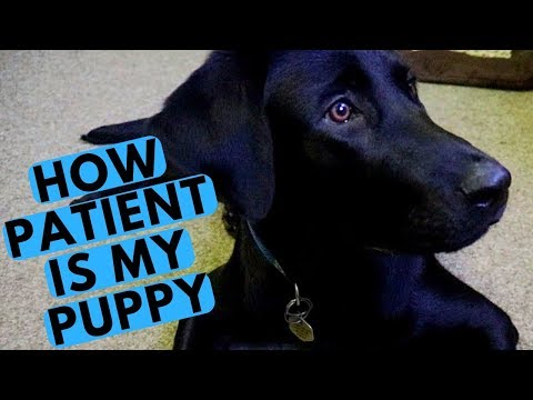 Puppy Patience Test - 6 Months Old Labrador