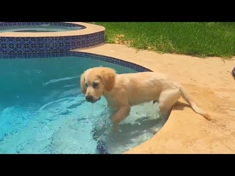 2 YEARS OF A GOLDEN RETRIEVER'S LIFE (SCS #100)