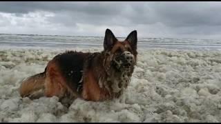 Северное Море Пена North sea Foam German Shepherd