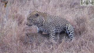 WILDlife: Africa's Big Cats: Leopards Mating