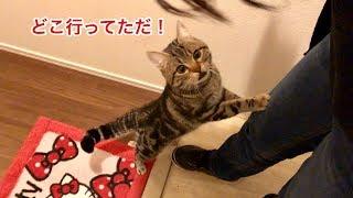 朝帰りした妹に嫉妬してすぐさま玄関までお出迎えしにきた猫w