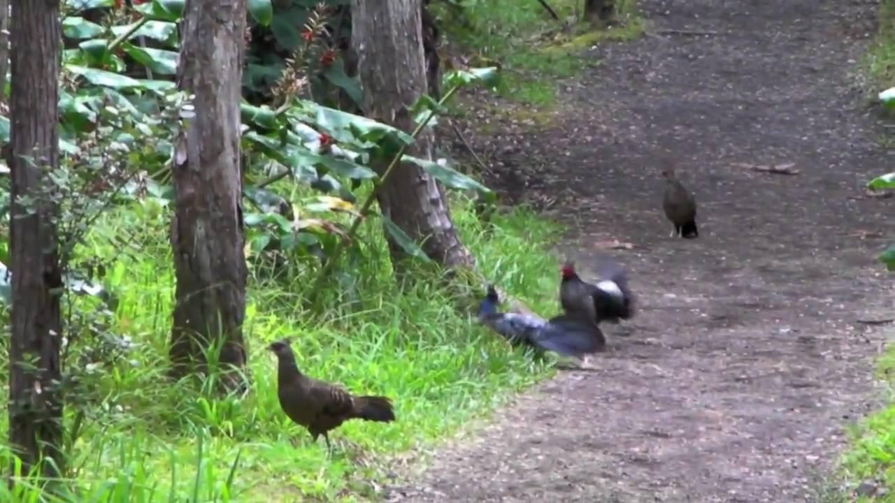 Hawaii Big Island Game Birds