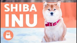 El perro shiba inu